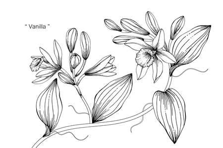 Vanilla flower and leaf hand drawn botanical illustration with line art. Illusztráció