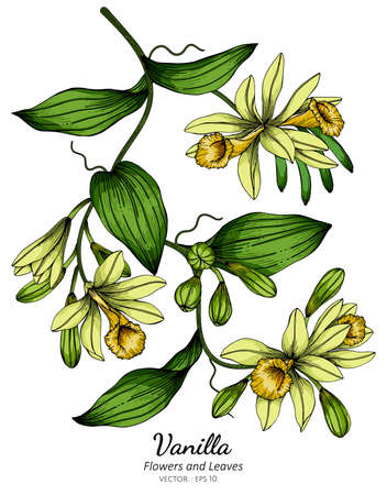 Vanilla flower and leaf drawing illustration with line art on white backgrounds. Illustration