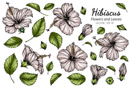 Set of White Hibiscus flower and leaf drawing illustration with line art on white backgrounds. Illustration