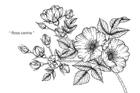Dog rose flower and leaf hand drawn botanical illustration with line art. Stock fotó - 155450217
