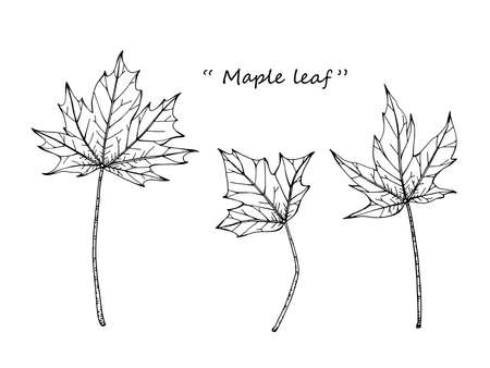 Maple leaf drawing illustration by hand drawn line art.