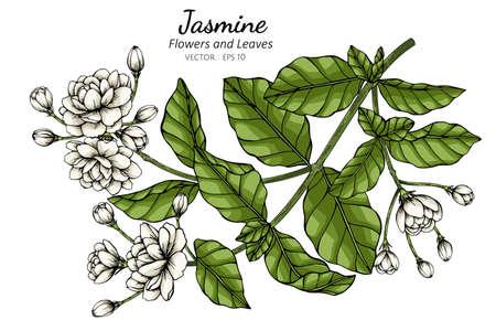 Hand drawn jasmine flower illustration with line art on white backgrounds.