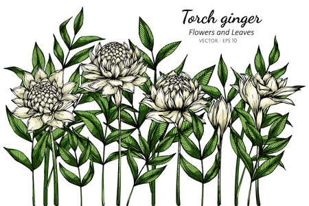 White Torch ginger flower and leaf drawing illustration with line art on white backgrounds.