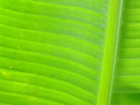 Green banana leaves photo