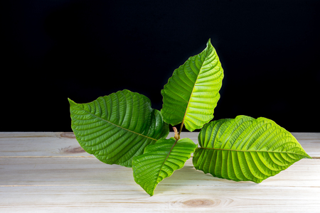 Mitragyna speciosa or Kratom leaves on wood table and black background