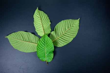 Mitragyna speciosa or Kratom leaves on black background
