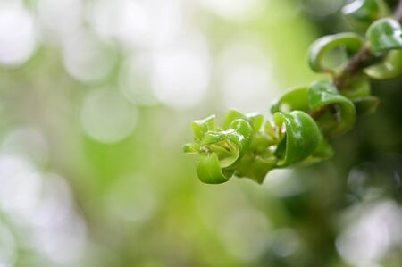 Closeup Lipstick Vine leaves on blurred nature with bokeh background