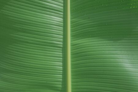 Closeup green  banana leaf texture