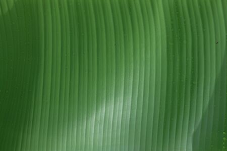 Closeup green  banana leaf texture with water drop