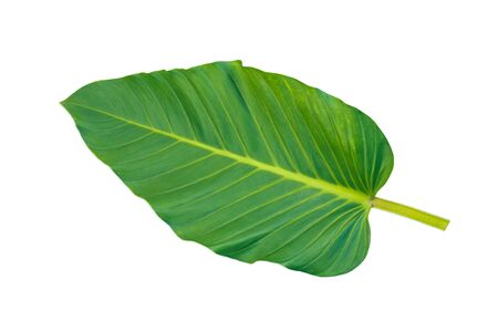 Green leaf front side isolated on white