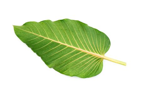 Green leaf back side isolated on white Фото со стока