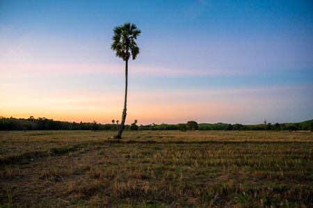 Sugar palm tree in rice field after harvest, sunset time with colourful sky Фото со стока