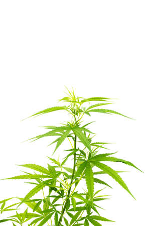Green cannabis branch leaves isolated on white background