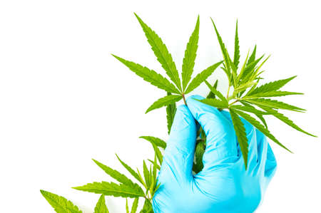 Blue hand glove of scientist selecting green cannabis leaves on branch, isolated on white background