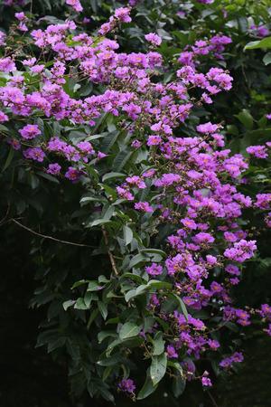 Crape-myrtle flowers