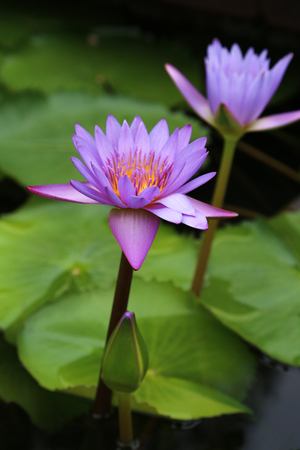 Egyptian blue water lily flowers Stock Photo