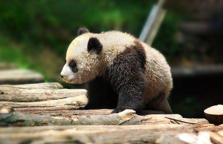 national culture: Cute panda Stock Photo