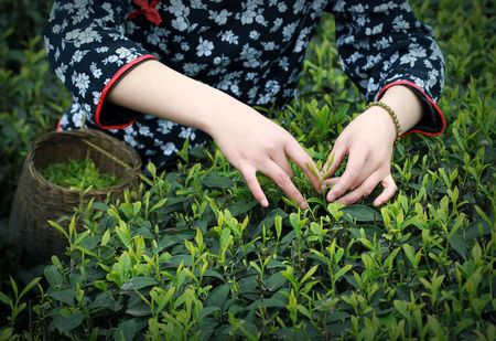tea plantation: Hand and Tea