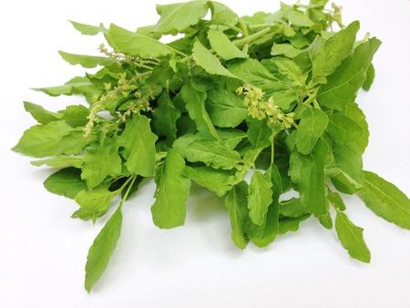 tulsi: Holy basil or tulsi leaves on white background