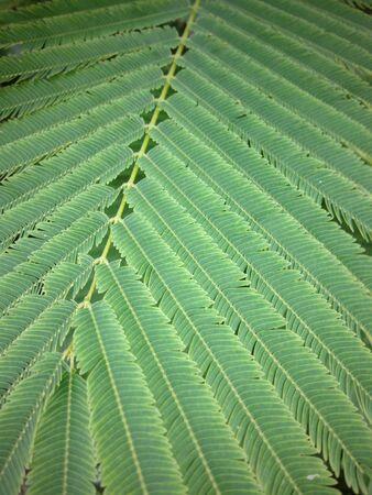 pennata: Acacia Pennata leaf