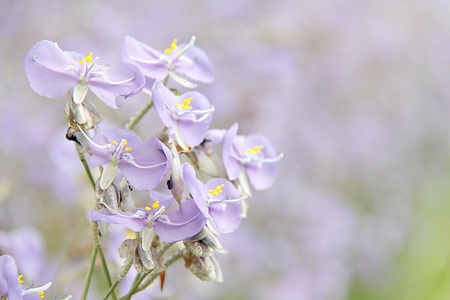 flare up: Sweet purple flower in the field close up, soft focus, blur, sweet purple flower background, Crested Serpent sweet purple flower field at Saksupha resort, Na Di district of Prachinburi Stock Photo