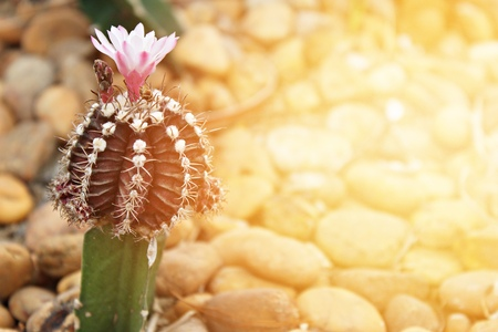 Nature background concept : Small cactus blooming flower in cactus garden