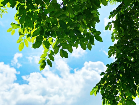 Nature background concept : Green leaves and sun on blue clouds sky