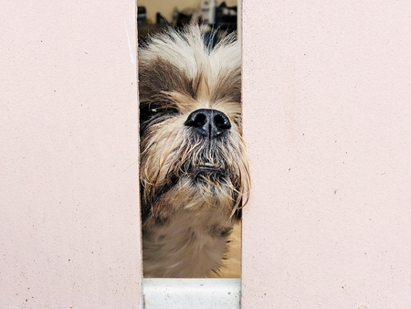 Animals or pets concept : Dog peeking behind fence waiting for freedom