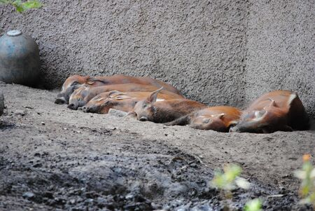 Group of pigs slepping Stock fotó