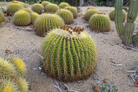 Cactus Standard-Bild