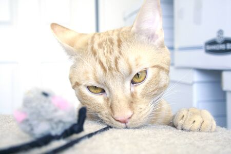 Orange tabby looking mischievously into the camera while playing with a toy Stock Photo