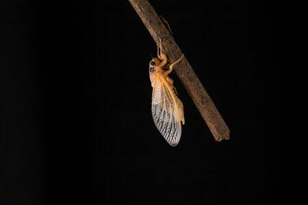 Isolated against black newly emerged 17 year cicada