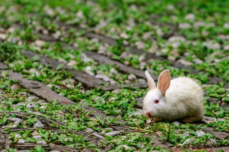 White albino bunny eating in a courtyard