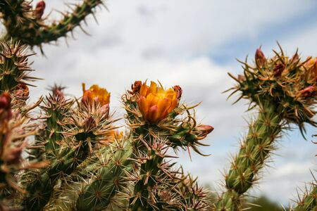 Cacti blooming orange flowers in the southwestern desert.