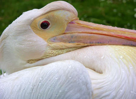 fed up: The pelican who was fed up with the rain