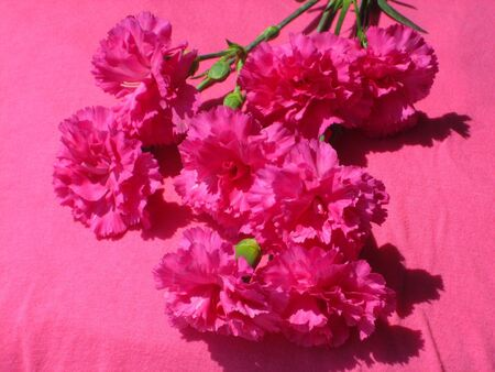 brigth: A bunch of brigth pink carnations on a pink background.