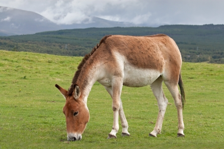 donkey ass: Kiang or Tibetan wild ass, are from the high plateaux and steppe in Tibet and live at elevations up to 5,000 meters   16,500 feet on alpine grasslands