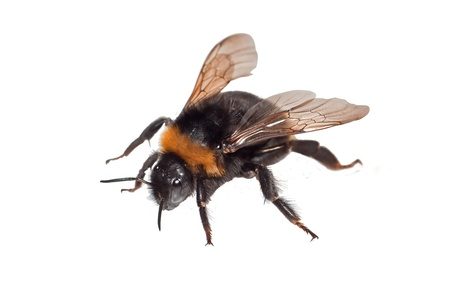 Bumble Bee Isolated on White Stock Photo