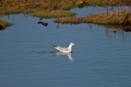 black headed: Black Headed Seagull Swimming