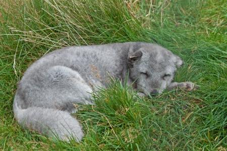 arctic fox: an Arctic Fox resting on grass