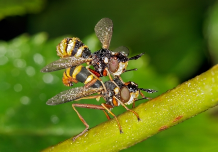 Mating Flies Banque d'images