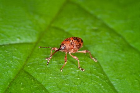 weevil: Weevil on a Green Leaf