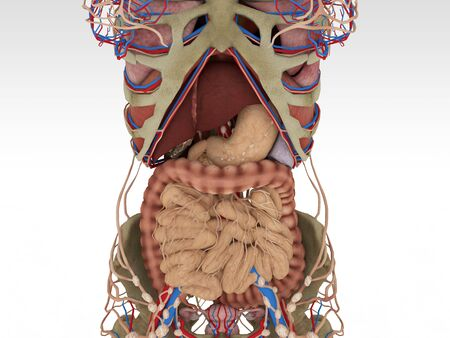 anatomically: Realistic, detailed and anatomically accurate Female  Anatomy Nervous Stock Photo