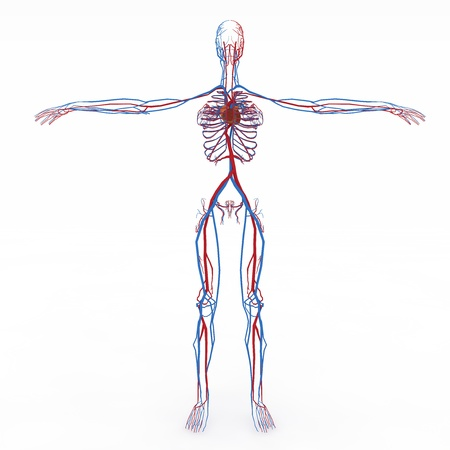 Realistic, detailed and anatomically accurate Female   eathers, Female_Circulatory_Heart in front Stock Photo - 20988889