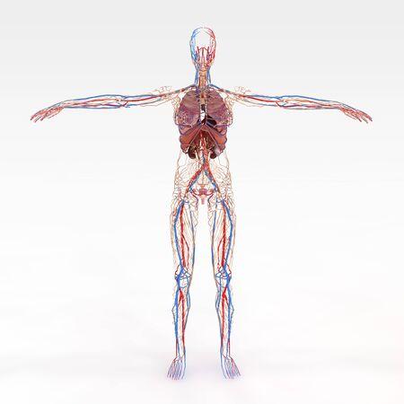 詳細な現実的と正確な解剖学的女性 eathers 写真素材