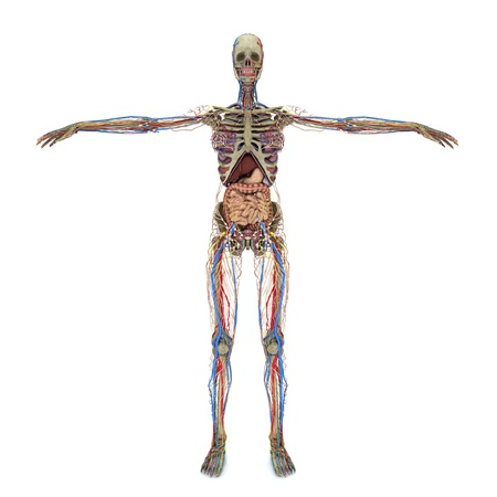 anatomically: Realistic, detailed and anatomically accurate Female Nervous