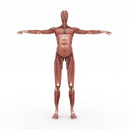 anatomically: Realistic, detailed and anatomically accurate Female muscular in front site Stock Photo