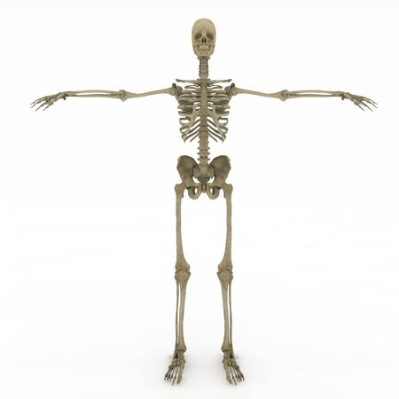 anatomically: Realistic, detailed and anatomically accurate Female skeletal Stock Photo