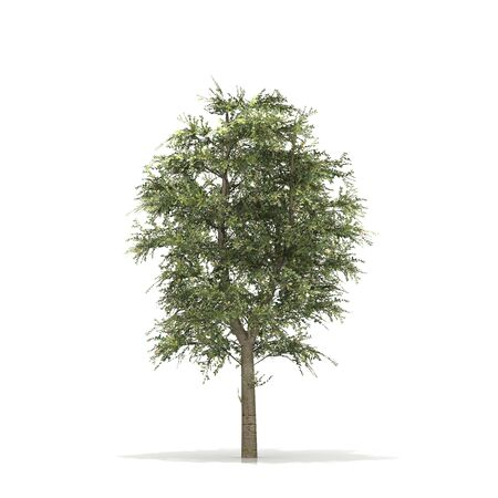 3D rendered illustration of Buche Tree model Stock Photo