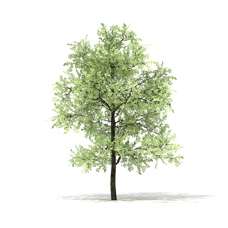 quercus: 3D rendered illustration of Eiche Tree model  Stock Photo